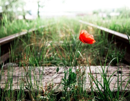 Close up color image depicting a single red poppy on its own, growing in the middle of an old overgrown railroad track. Focus is on the flower in the foreground, while the railway track recedes, defocused, into the misty background. Room for copy space.
